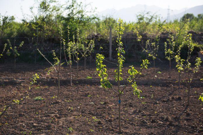 Zakup sadzonek drzew owocowych. Z jakim wydatkiem się liczyć?