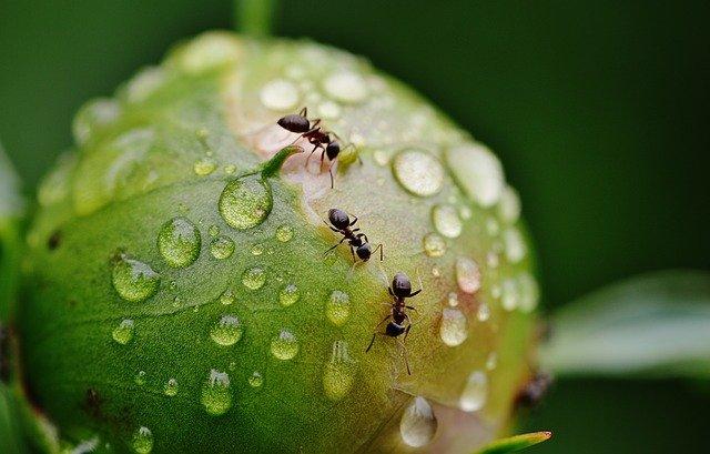 Domowy preparat na mrówki